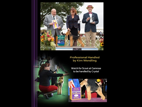 Lakeland Terrier at the Morris & Essex Kennel Club 2015