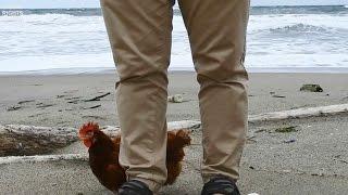 ウィンドレス鶏舎のバタリーケージで飼育されていた小春、 両目が見えな...