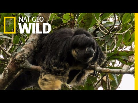 Mysterious Amazon Animal Seen for First Time in 80 Years   Nat Geo Wild