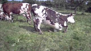 Les vaches normandes, les plus belles !