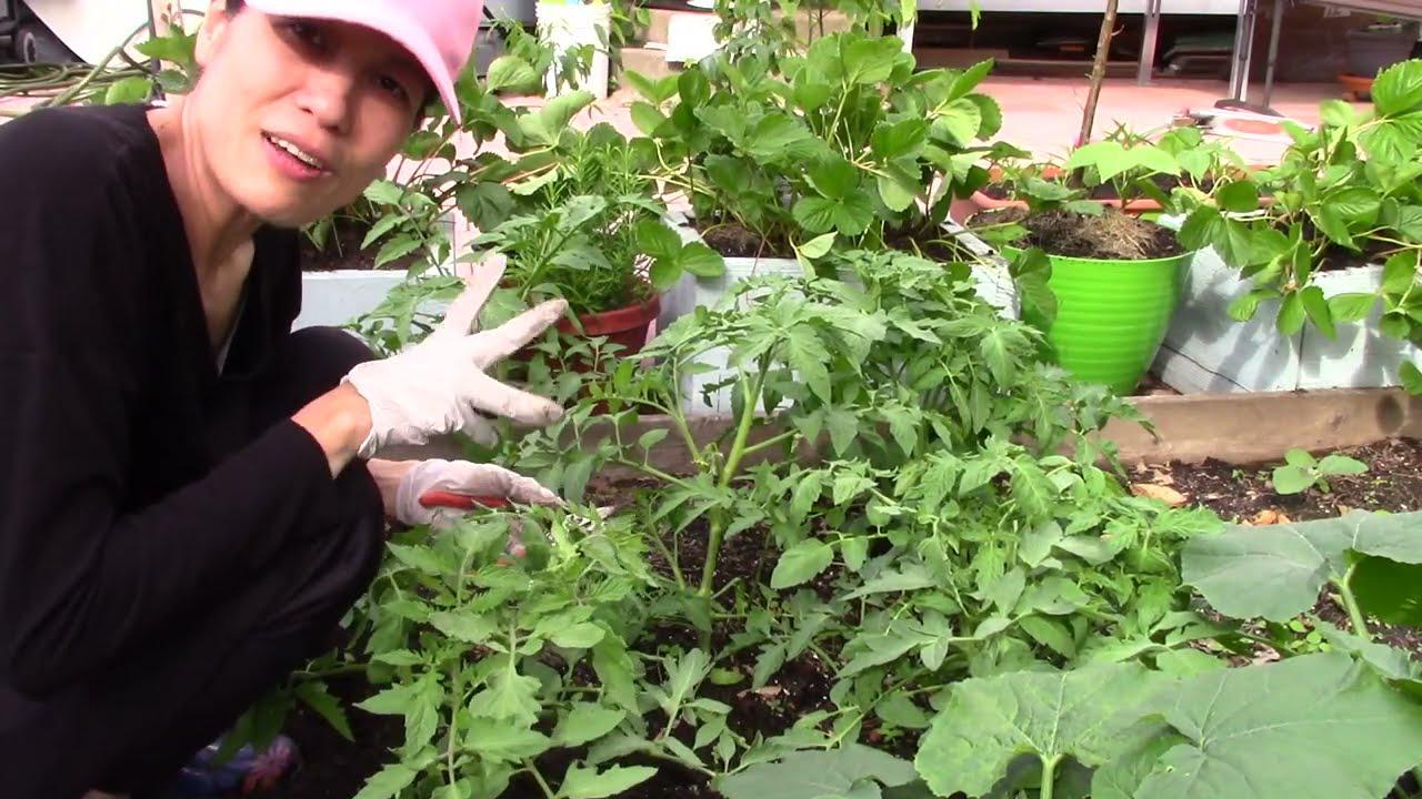 Vườn rau New York : Chia sẽ cách trồng CÀ CHUA cây KHOẺ, TO ,nhiều trái 🍅🍅🍅sau vườn nhà 🧑🌾