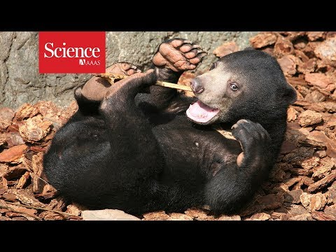 Watch the world's smallest bear copy its friends' facial expressions