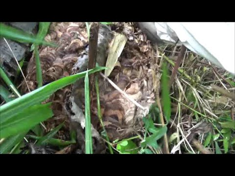 矢吹町でスズメバチ駆除- 通学路の草刈り中、スズメバチに刺された!