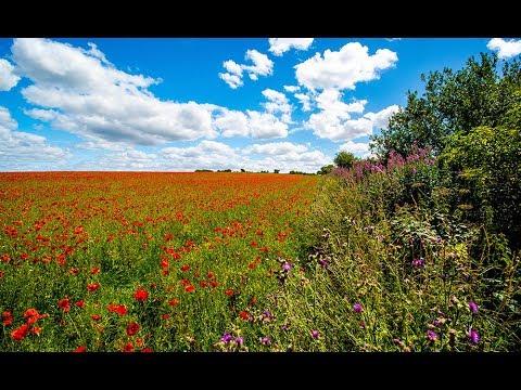 Cotswold Poppy Fields