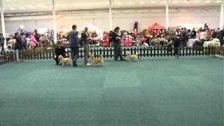 Happy - Cairn Terrier