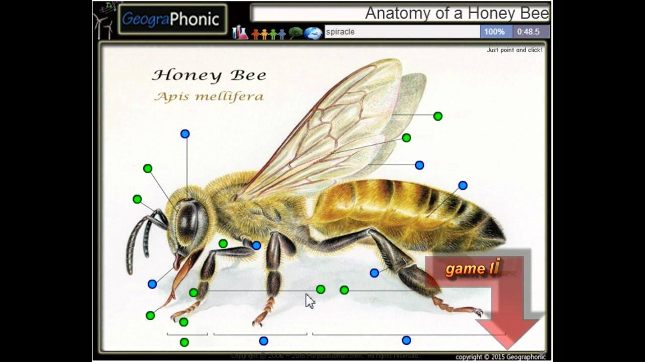 Anatomie einer Honigbiene, Antennen, Mandibeln, Rüssel, Facettenauge ...