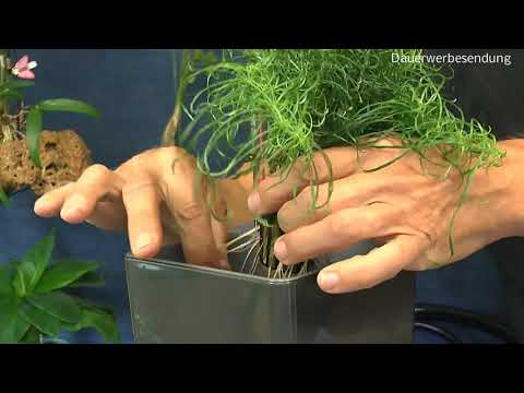 Chili Mutantchili von der Hydroponik in die Hydrokultur umpflanzen Aji Charapita Aussaat