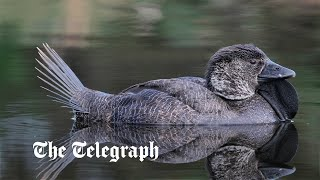 video: You're not quackers, this duck did call out 'You bloody fool!'