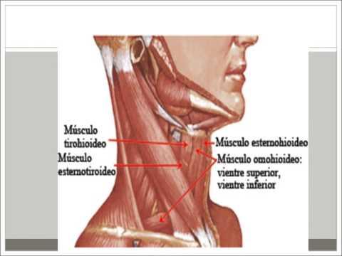 Taller de cuello y Disección (Anatomía, Fisiología, Histología y ...