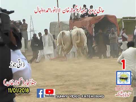 Bul Race In Pakistan Sunny Video Fateh Jang 11 01 2019 NO1