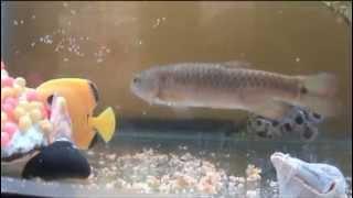 vuclip pez canibal se comio a su hijo