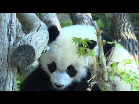 A Beauval Le Bébé Panda Fête Son Premier Anniversaire