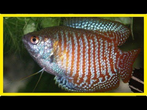 Breeding Male And Female Gouramis: How To Identify The Gender