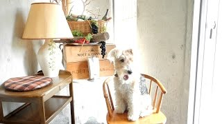 Happy spring days of wire fox terrier Nana.