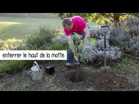 M thode avanc e 5 mois apr s le bouturage d 39 un figuie doovi - Comment planter un cerisier ...