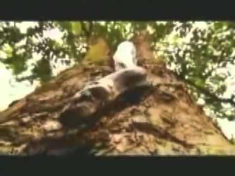 Ataques cobras/cobras gigantes/cobras atacando cobras/maiores cobras do mundo