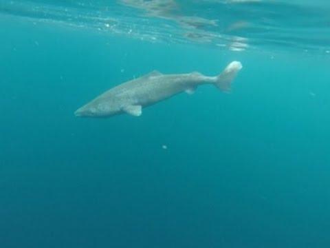 Raw: Greenland Shark Longest Living Vertebrate
