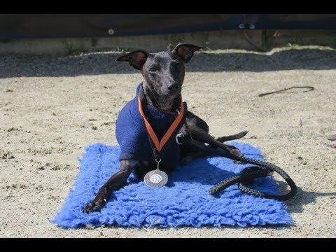 Benji - Italian Greyhound - 3 Weeks Residential Dog Training