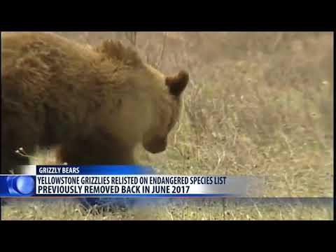 Grizzly bears back on endangered list in Greater Yellowstone region