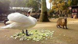 カピバラの「白鳥が強すぎる件」
