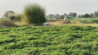Quail Hunting  | Season 2020 | How to trap a quail with Net  | بٹیر کا شکار  ( Watch full video )