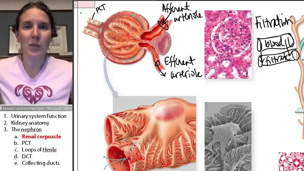 Renal Corpuscle Urinary System Human Anatomy Course Youtube