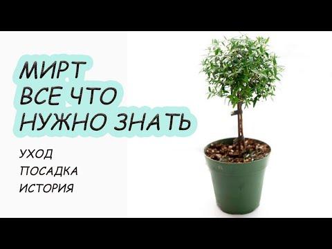 МИРТ обыкновенный растение популярное с древности. Как варащивать дома, секреты цветения