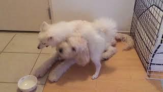 わたちレモン  <じゃれて遊ぶ2犬> 犬種は日本スピッツ ゴールデンド...