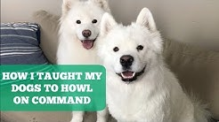 How I Taught My Samoyeds To Howl On Command