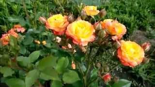 видео Оранжевые розы - фото, сорта с названиями, значение
