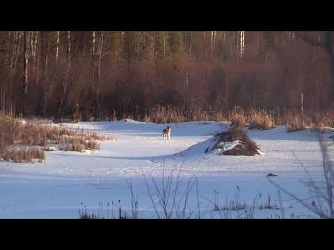 Northern Alberta Timberwolf Hunt