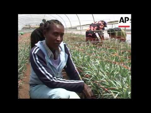 Ethiopia's unique climate helps grow roses for the international market