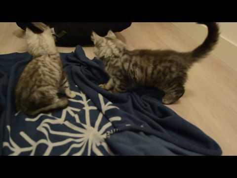 Norwegian Forest Cats 13 weeks