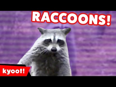 The Funniest Raccoon Videos of 2016 Weekly Compilation | Kyoot Animals
