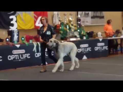 Dogs Puppy class Irish Wolfhound Mol
