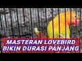 Masteran Lovebird Bikin Durasi Panjang  Mp3 - Mp4 Download