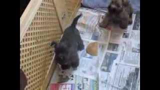 Cairn Terrier Jugando - Pebbels