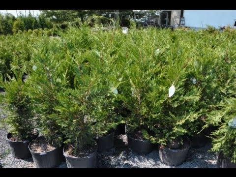Leyland cypresses for reading pa landscapes craigslist add - Jacksonville craigslist farm and garden ...