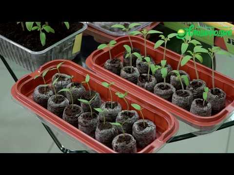 Посев томатов на рассаду. Сроки и способы посева