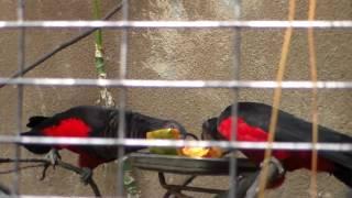 Gambar cover Burung Kasturi Raja (Nuri Kabare) Makan Pepaya