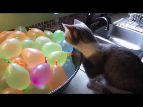 Thumbnail for Cat Video Munchkin Cat Pops Water Balloons