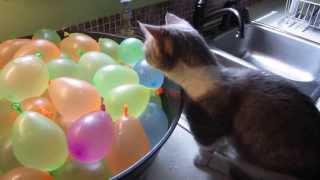 ど、どこにいったの…? 割れた水風船に戸惑う子猫がかわいすぎる