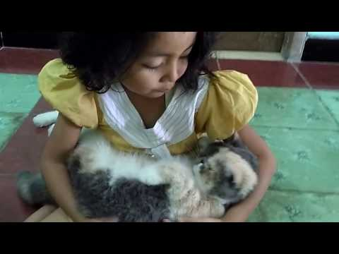 exotic shorthair cat and funny sister