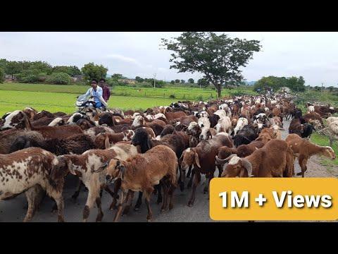 Download Top Viral Sheep Video || Sheep and Goat videos || Baa Baa Black Sheep||भेड़ और बकरी के वीडियो