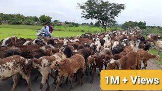 Top Viral Sheep Video || Sheep and Goat videos || Baa Baa Black Sheep||भेड़ और बकरी के वीडियो