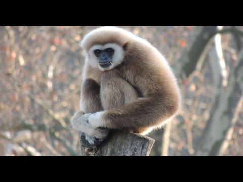 White Handed Gibbon Singing Opera