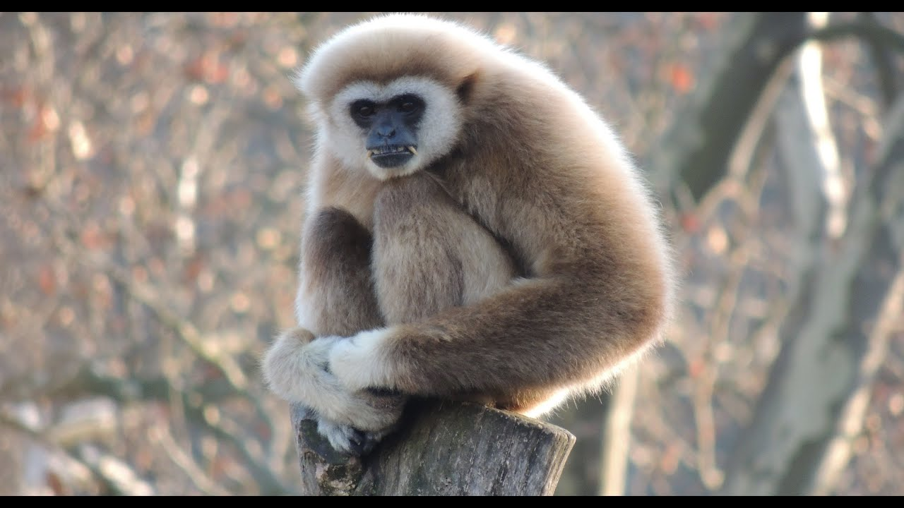 White Handed Gibbon Singing Opera Youtube