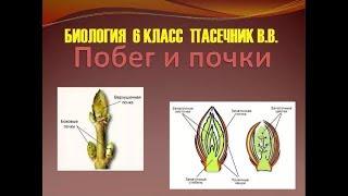 Биология 6 класс § 5 (Автор: Пасечник В.В. )  Побег и почки