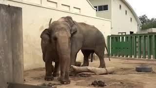 Perkawinan gajah