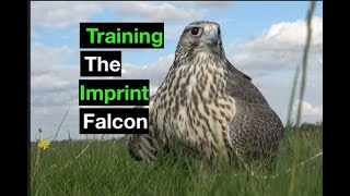 Training falcons for falconry.…